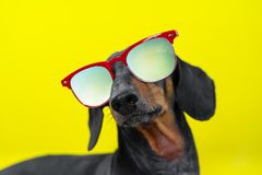Funny   breed dog dachshund, black and tan, with sun glasses, yellow studio background, concept of dog emotions. Background for yo. Ur text and design royalty free stock photos