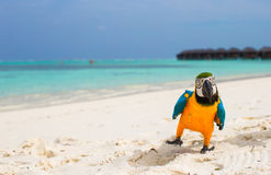 Funny bright colorful parrot on the white sand in Stock Photography