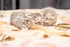 Funny British cat's kitten Stock Photos