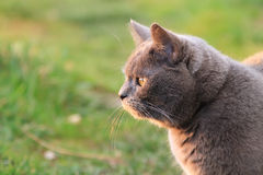 Funny British cat with big golden eyes looking on the sun. Fat funny British cat in the garden. Beautiful domestic gray or blue British short hair cat with Royalty Free Stock Images