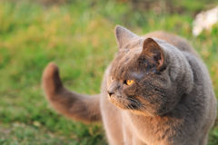 Funny British cat with big golden eyes looking on the sun. Fat funny British cat in the garden. Beautiful domestic gray or blue British short hair cat with Royalty Free Stock Photos