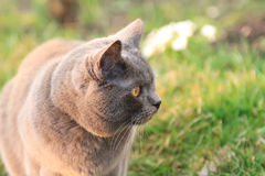 Funny British cat with big golden eyes walks in the garden. Fat funny British cat in the garden. Beautiful domestic gray or blue British short hair cat with Royalty Free Stock Image