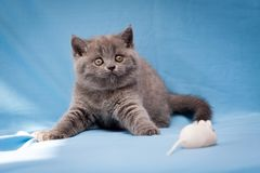Funny British kitten blue color curiously staring at the camera royalty free stock images