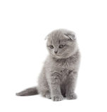 Funny British kitten Stock Photos