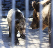 Funny brown bear cub playing with mom. Novosibirsk Zoo. Russia Stock Photos