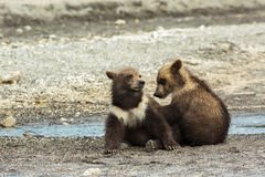 Funny brown bear cubs on the shore of Kurile Lake. Royalty Free Stock Images