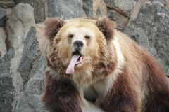 Funny Brown Bear Sticks out her Tongue. Brown Bear Decreases teh Heat by Sticking out his Tongue stock images