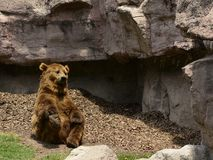 Funny brown bear stretching Stock Image