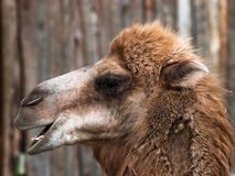 Funny brown camel Stock Photos