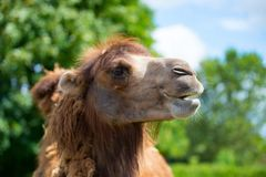 Funny brown camel. At the summer stock photos