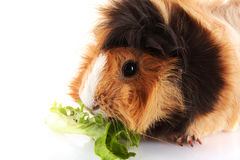 Funny brown cavy Stock Image