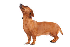 Funny brown dachshund dog Royalty Free Stock Photos