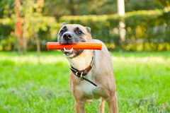 Funny brown dog with a stick in his mouth Royalty Free Stock Image