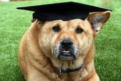 Funny Brown Dog Wearing Graduation Cap Stock Image