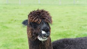 Funny brown female Lama Alpaca in New Zealand. Meeting of brown funny Lama Alpaca in New Zealand´s farm royalty free stock images