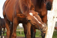 Funny brown foal gnawing on fence Royalty Free Stock Photos