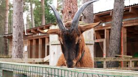 Funny brown goat turns his head and looks into the camera stock video