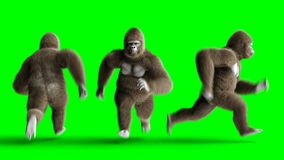 Funny brown gorilla runing. Super realistic fur and hair. Green screen 4K animation.