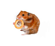 Funny brown hamster with a round bagel in the teeth isolated Royalty Free Stock Photography