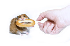 Funny brown hamster with a round bagel Stock Photography