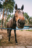 Funny Brown Horse Close Up Head Royalty Free Stock Photos
