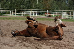 Funny brown horse rolling on the ground Royalty Free Stock Photo