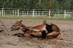 Funny brown horse rolling on the ground Royalty Free Stock Photography