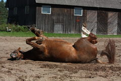 Funny brown horse rolling on the ground Stock Images