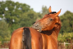 Brown horse scratching itself on the pasture Stock Images