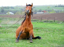 Funny brown horse sitting Royalty Free Stock Image