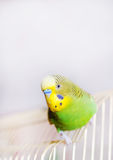 Funny budgerigar Royalty Free Stock Photos
