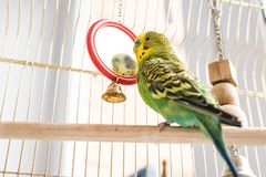 Free Funny Budgerigar. Cute Green Budgie Pa Parrot Sits In A Cage And Plays With Mirror Royalty Free Stock Photography - 159048077