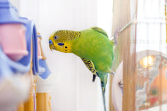 Funny budgerigar Stock Photography