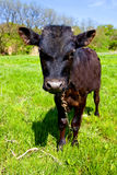 Funny bull-calf on pasture Royalty Free Stock Image