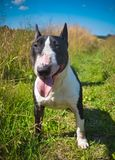 Bull Terrier Dog on nature on field royalty free stock images