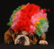 Funny Bulldog Royalty Free Stock Photo