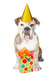 Funny Bulldog With Birthday Present Royalty Free Stock Photos