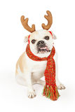 Funny Bulldog Dressed As A Reindeer Royalty Free Stock Photos