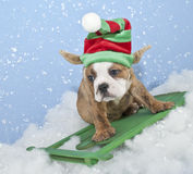 Funny Bulldog / Elf Puppy Royalty Free Stock Photography