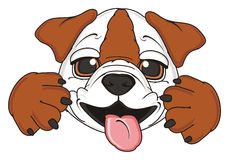 Funny Bulldog hamming Royalty Free Stock Image