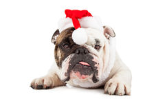 Funny Bulldog Wearing Santa Hat Royalty Free Stock Photography