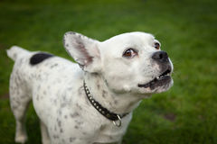 Funny bulldog white and black on the grass Royalty Free Stock Photography