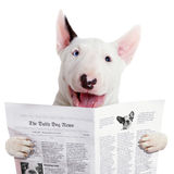 Funny bullterier reading newspaper Stock Image