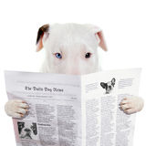 Funny bullterier reading newspaper Stock Photography