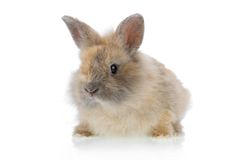 Funny bunny 2. Cute little baby angora rabbit isolated on a white background Stock Image