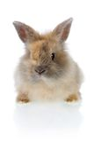 Funny bunny. Cute little baby angora rabbit isolated on a white background Stock Photography