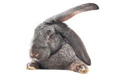 Funny bunny. Close-up image of rabbit isolated on white Royalty Free Stock Image