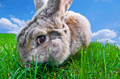 Funny bunny. Looking at you  while chewing grass.motion blur on the cheek from chewing Royalty Free Stock Photo