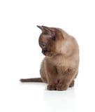 Funny Burmese cat or kitten sitting on white royalty free stock image