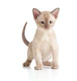 Funny Burmese cat kitten on white Stock Image
